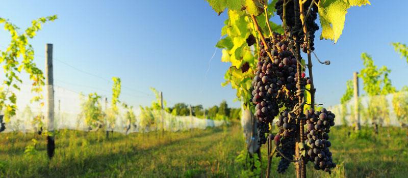 Winnica Dolny Śląsk