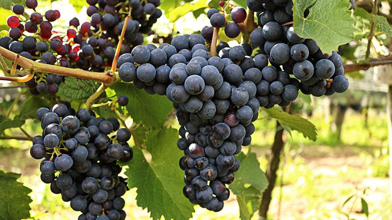 Winnice Jaworek, grona, polskie wino